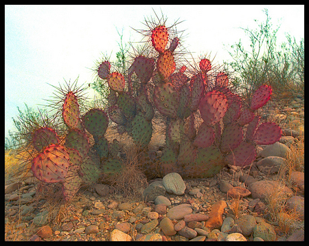 """Purple-Tinged Prickly Pear Cactus - Big Bend National Park Texas USA"""