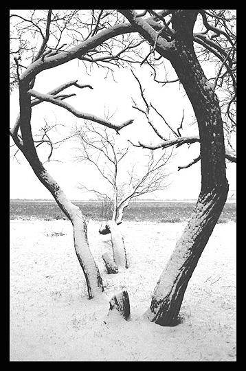 Mesquite_tree_in_snow.jpg